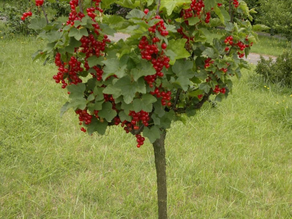 Выращивание штамбовой смородины 50