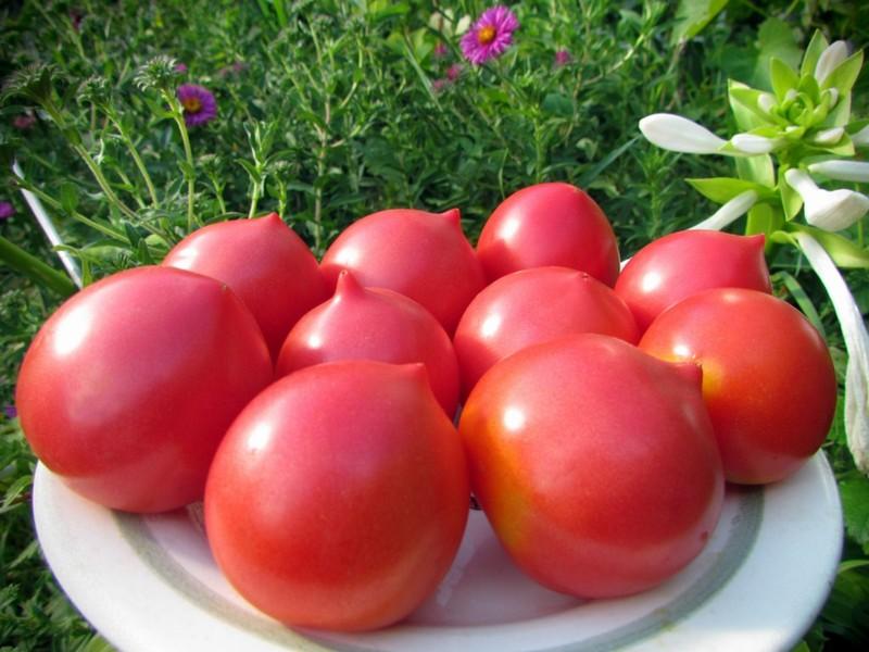 Крупные сорта томатов для открытого грунта и теплиц