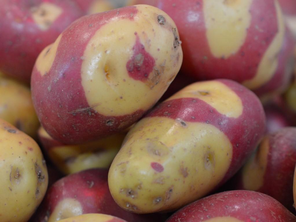 Картофель Выставочный Апачи - Apache Potato