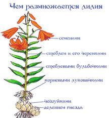 Как сажать бульбочки лилии 78