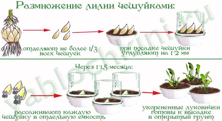 Как сажать бульбочки лилии 47
