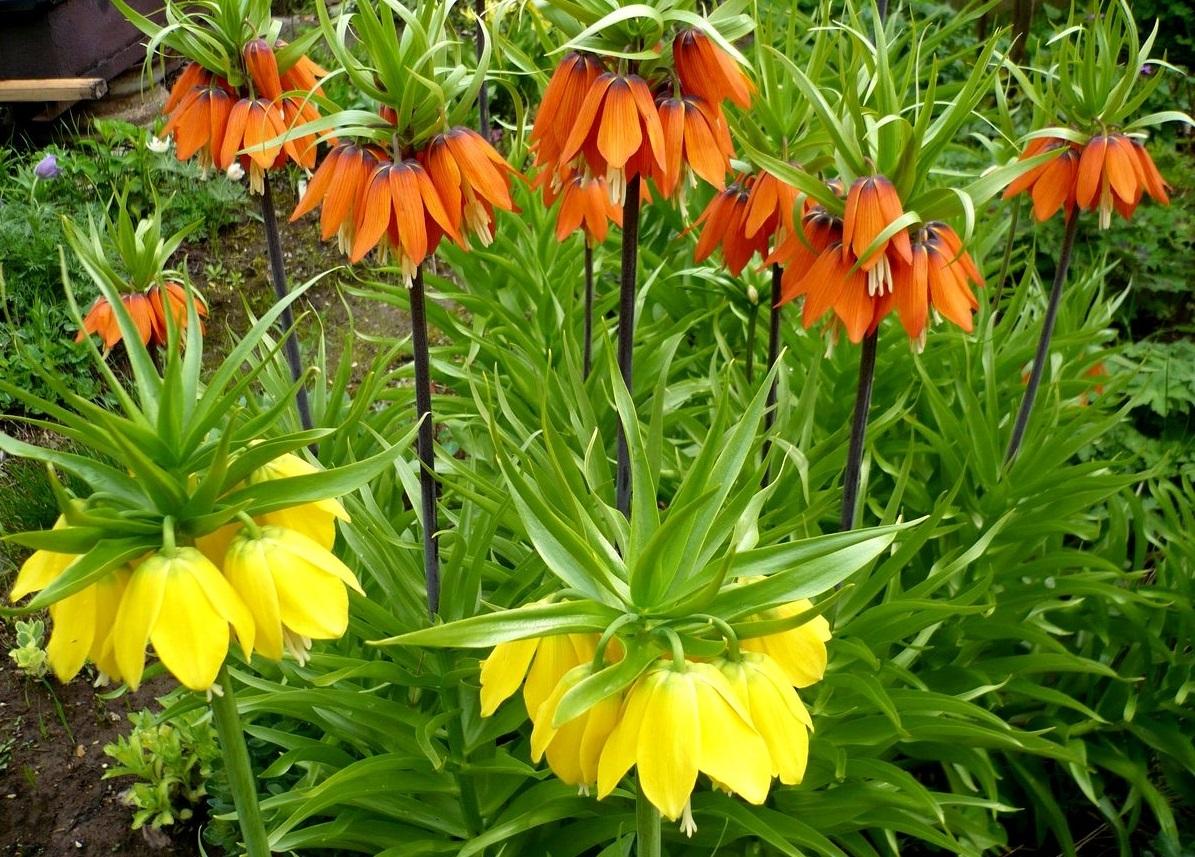 Цветок рябчик в саду фото