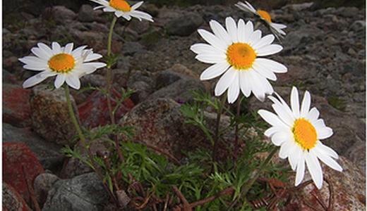 Ромашка полевой садовый цветок