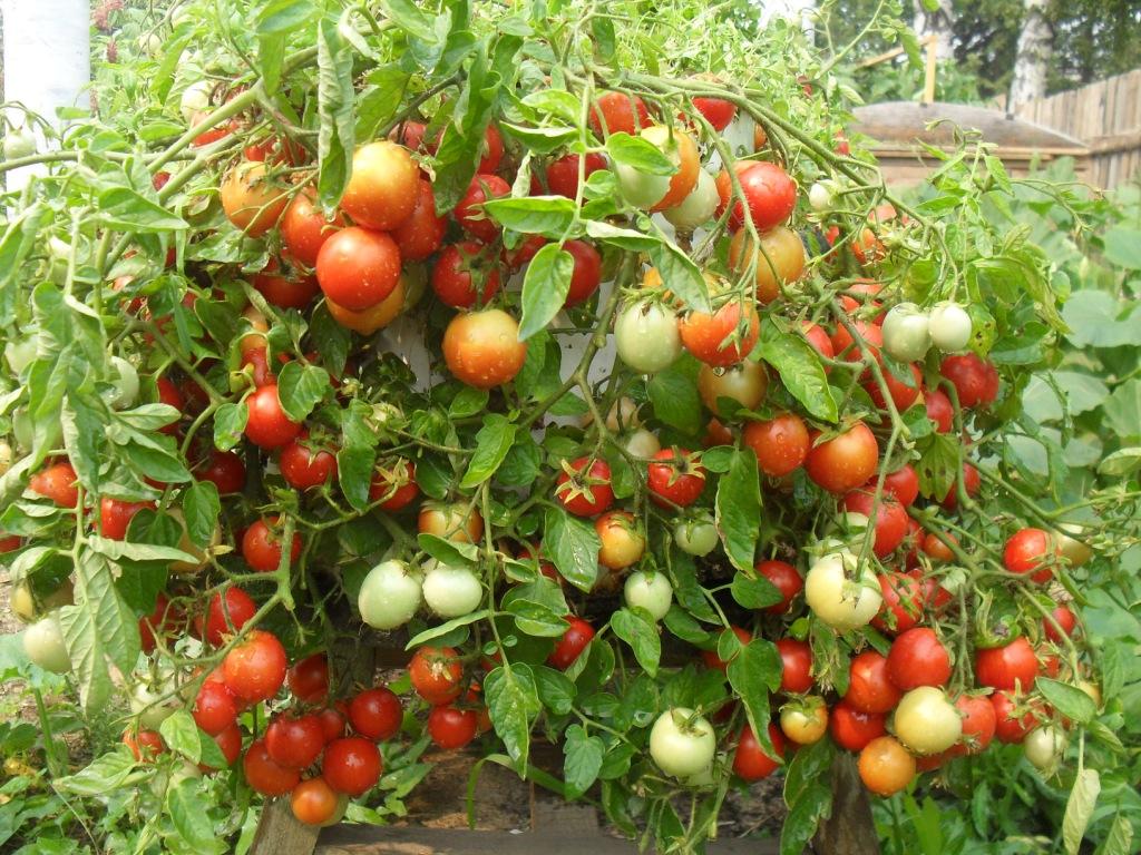 Ампельные томаты сорт Талисман