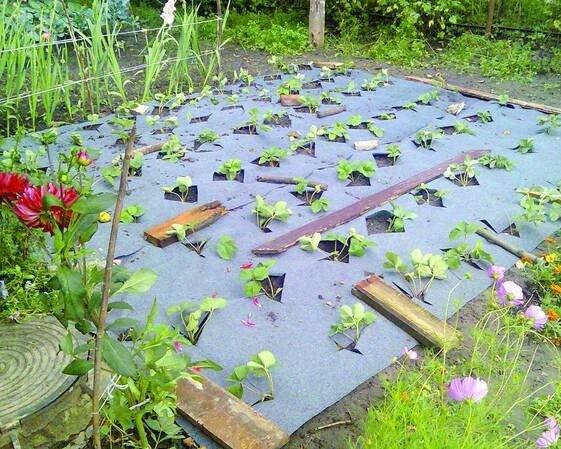 Достали сорняки есть выход клубника