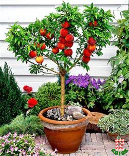 Как вырастить из косточки персик в домашних условиях