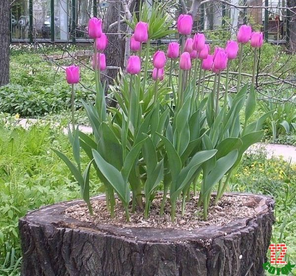 Идеи посадки тюльпанов фото
